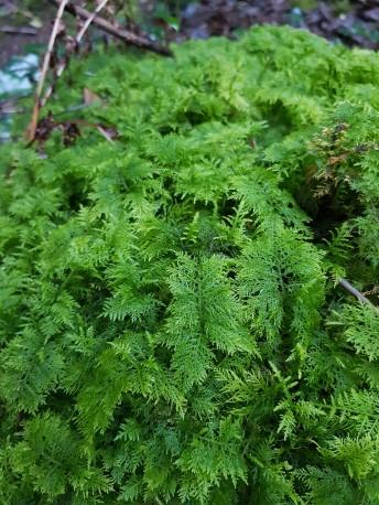tiny-fern